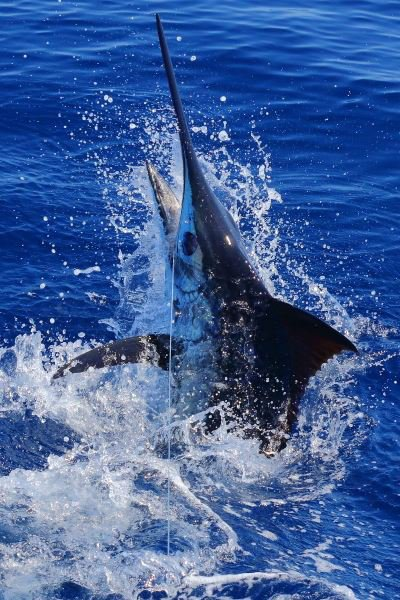 Olaf Grimkowski a ajouté 4 nouvelles photos — à Marina da Horta. 10 h ·  20.09.2015 Xacara Azores We had our last day today with beautiful weather on the azores bank and we raised 3 blues. We caught a 300 pounder .a few minutes later we raised a simmillar size fish on the RPP but no bite . and than we had one have a look at our live bait wich we trolled around for a while.There are still blues here yesterday Nola and Habitat caught one each. I had a great time here again saw the 2 biggest fish since 2013 for me . We ended up catching 19 fish in around 35 days plus some whites and a bigeye. Thanks to everybody that made it a blast !!!