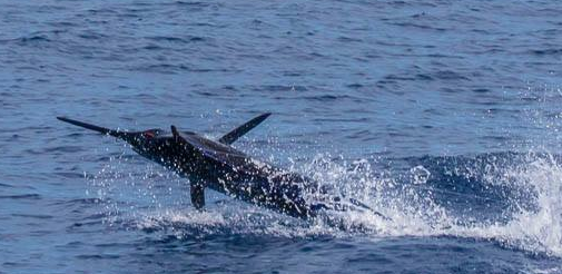 Olaf Grimkowski a ajouté 6 photos et une vidéo — avec Lukas Folk et 4 autres personnes, à Marina da Horta. 8 h · Horta, Azores, Portugal ·  Xacara Azores  The last 2 days were excellent . Yesterday we caught a 450 pound blue marlin on the Andrew Moyes Bushmaster.Gypsy Blues caught a 400 pounder as well. Today we went back to the north and it was loaded with white marlin and a few blues as well. We caught 9 Whites out of who knows how many bites on our tiny baitlure on a 30 pound outfit. We only got 3 fish to the bait caught 1 and billwrapped 2 of them. Brasilia caught 7 whites , Gypsy Blues caught 4 whites and missed a 500 pound blue marlin and Habitat caught a 300 pound Blue and 3 whites. Full of Bait and flat calm great fun ! I hope they stay around now.