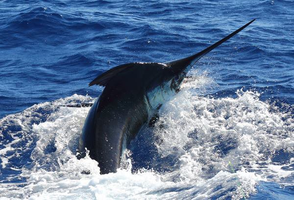 Report of the 5 september 2017 -----------------------------------------Xacara and Nola was on Condor bank today. No luck for Nola ,pull the hook after 50 meters line out.Xacara pull the hook on a nice blue around 600lbs. That's Brasilia who released a 450 lbs in the north ,congrats Jason.