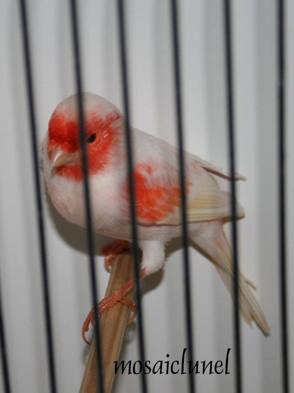 Male mosaique rouge