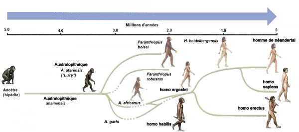 généalogie d'homo sapiens