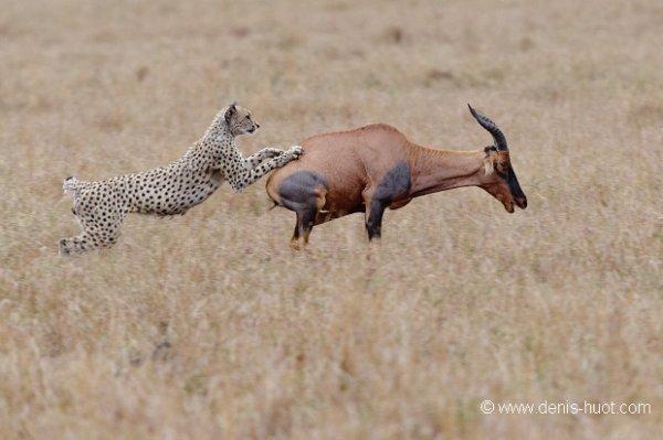 la chasse du guépard