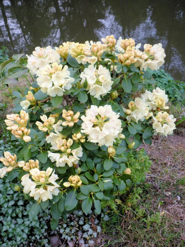 Les rhododendrons sont en fleurs ...