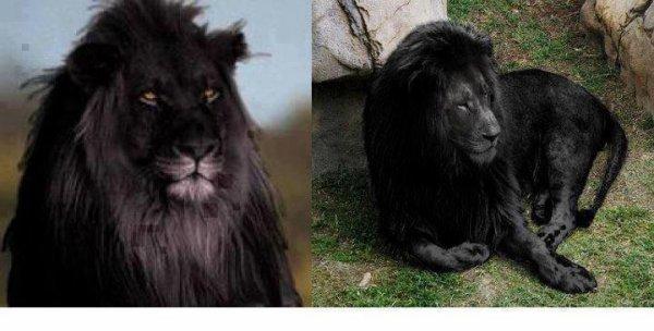 articles de shadow288 tagg s lion noir blog de. Black Bedroom Furniture Sets. Home Design Ideas