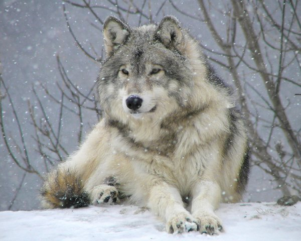 Le loup gris blog de loup officiel d - Photo de loup gris a imprimer ...