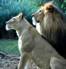 Photo de lion260