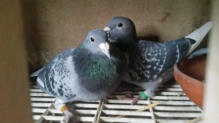 Couple roger senicourt prêté par colombus 56