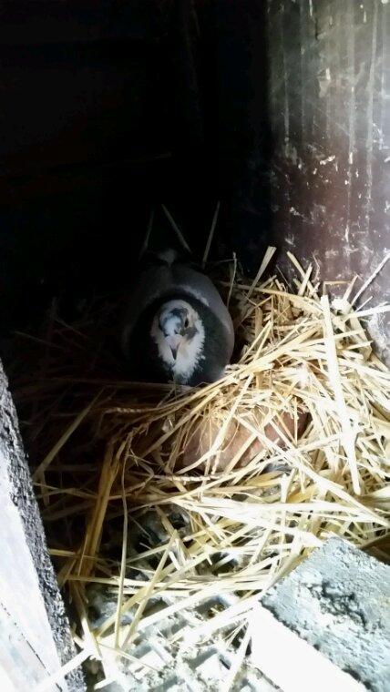 Les reproducteurs on refait leurs nids pour la deuxième tournée