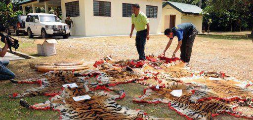 Un trafiquant de peaux et d'os de tigres n'.......