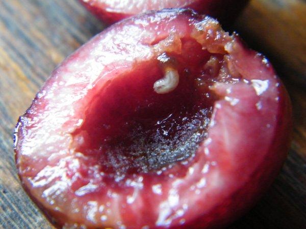 Mouche de la cerise blog de naturejardin08 - Vers dans les cerises ...
