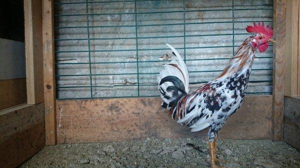 Coq espagnol