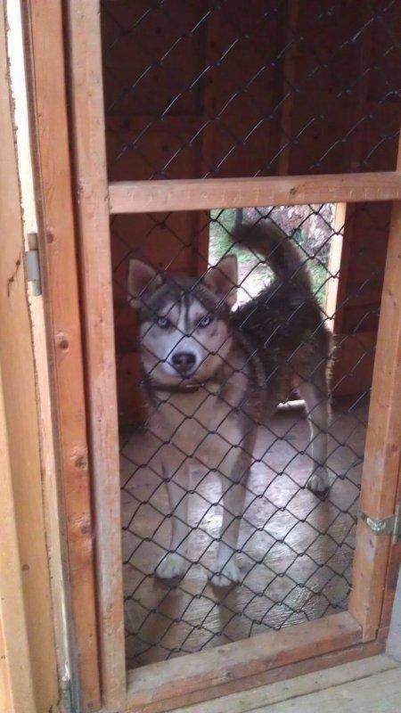 Mon chien husky male