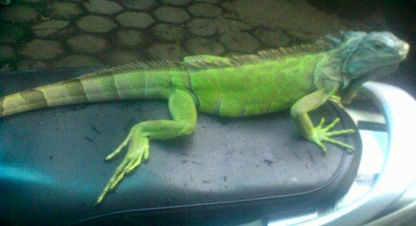 My Green Iguana