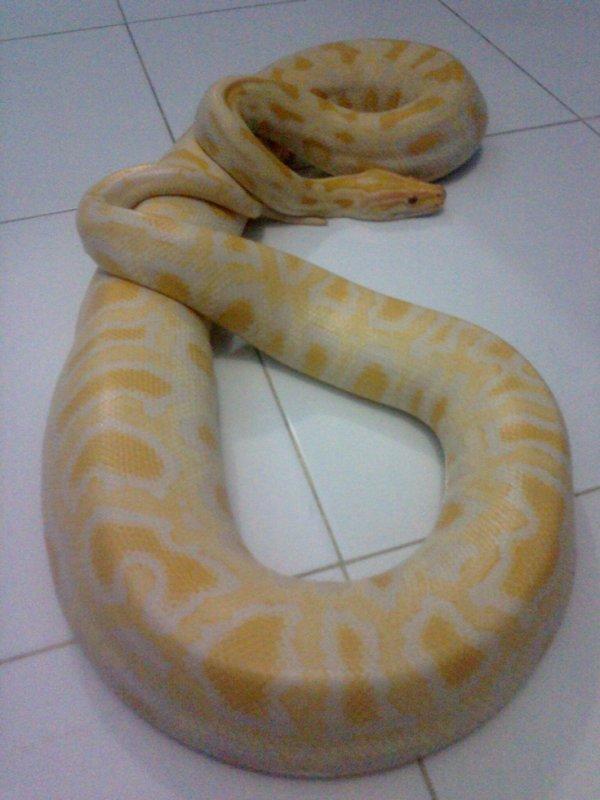 My Molu Albino