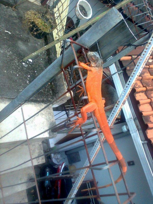 My Red Iguana <Karin>