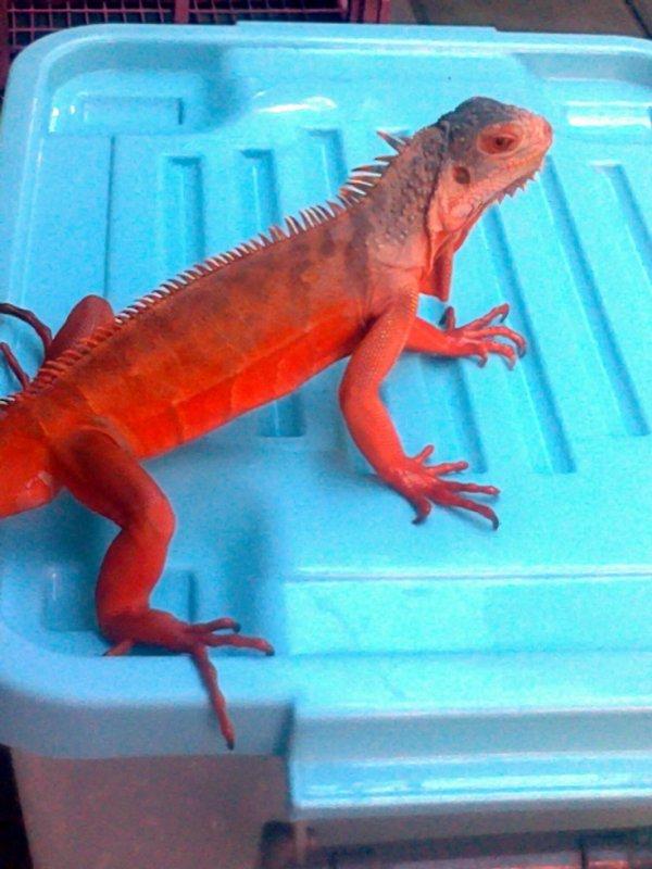 My Red Iguana <schamers>