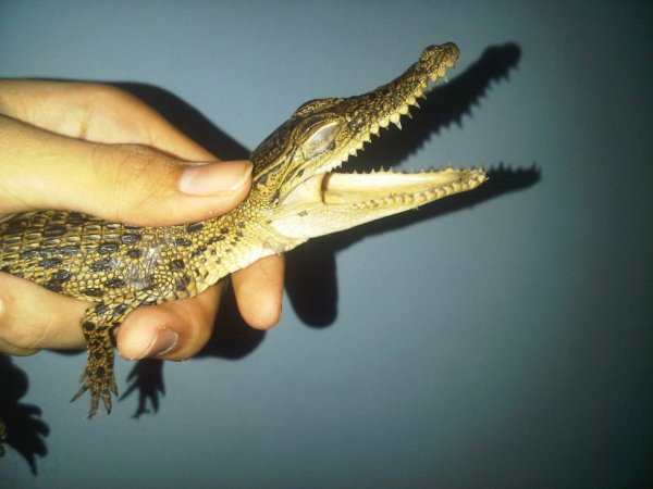 My Baby Crocodile