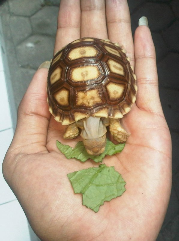 My Turtoise (sulcata) ^^
