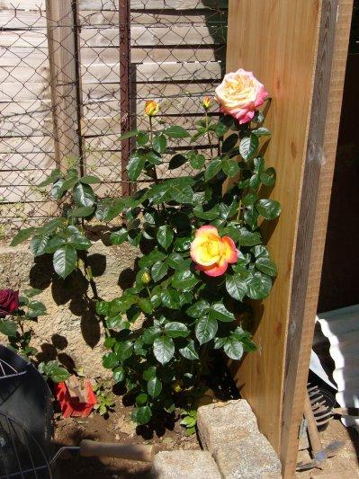 un rosier que j'ai taillé en novembre voila le résultat!