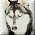 Pack 40 - Husky