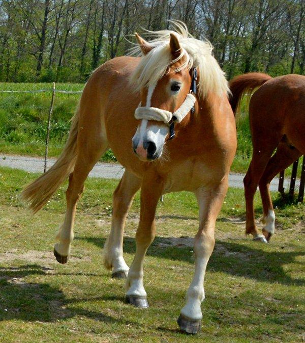Aman pur sang arabe,Blondiné (Haflinger), Azul (Levrier) !  - Page 3 3294322622_1_7_zEcAv2cz