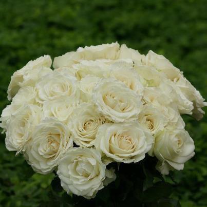 il est trop beau c bouque de rose blanche