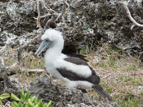 Abbott's Booby (Papasula abbotti) on Christmas Island.