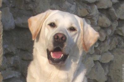 labrador beige - Labradors et Golden Retriever
