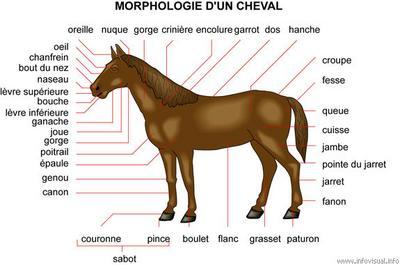 la morphologie du cheval blog destin aux passionn s des chevaux. Black Bedroom Furniture Sets. Home Design Ideas