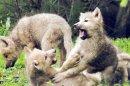 Photo de loups-louves-19