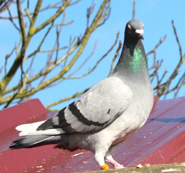 Resultats Pigeon sur ISSOUDUN 150KM   484Pigeon