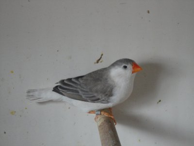 une jeune femelle poitrine blanche