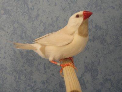 mâle longue queue de heck crème ino 2010