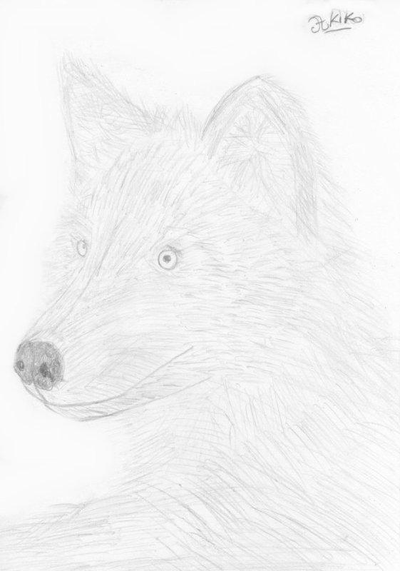Dessin : Loup.