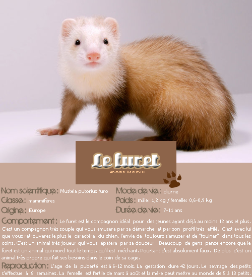 Article 5 : Le furet sur Animals-beautifulNourris un animal abandonné