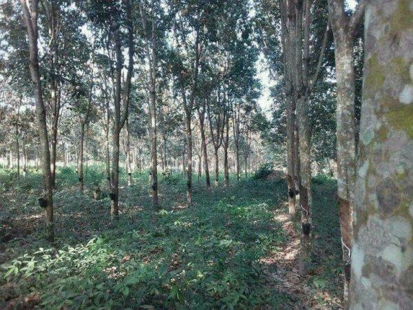 Une de mes plantations d'hévéa à lokosso