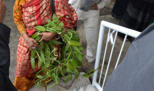 Agriculture : Un insecte attaque la vanille et commence à faire des dégâts