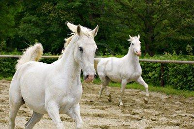 Un cheval liée à l'école espagnol : le Lipizzan