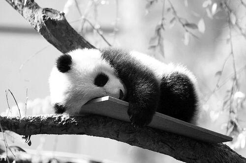 Je mais cette photo de PANDA parce que c'est l'animal préféré de Yuri :)