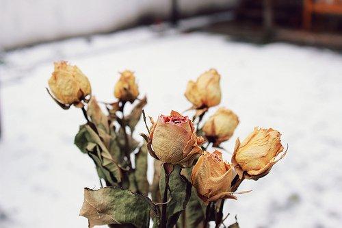 Tels les roses, nos rêves se sont fanés...