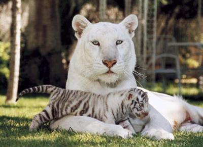 pour mon tigre prefere