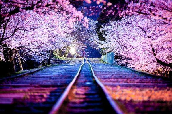 sakura=cerisier en japonais