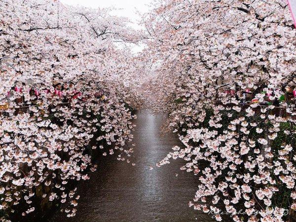 ah ces cerisiers