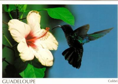 Colibri Hibiscus colibri - i'ts time to live,to love,to breath