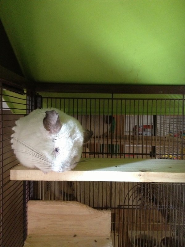 Sauvetage des chinchillas