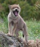 Photo de loups-louves-48