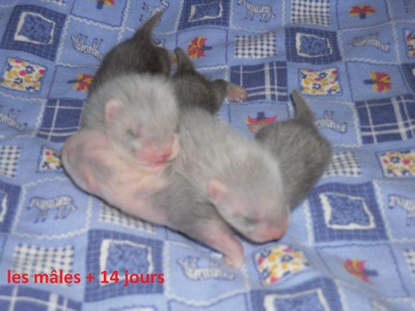 les petits mâloux à 14 jours