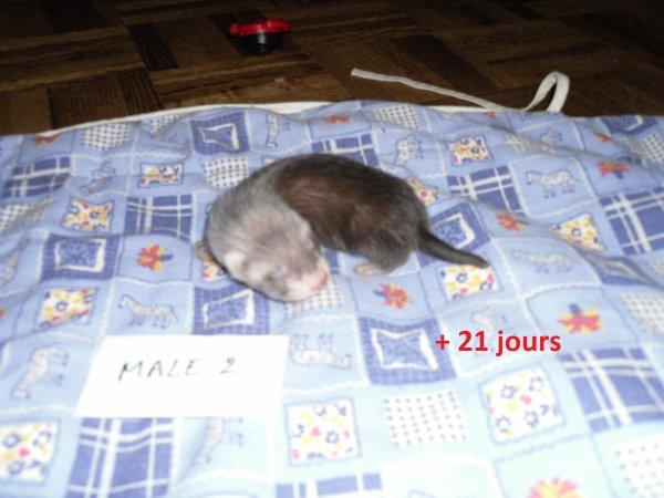 les petits mâloux à 21 jours