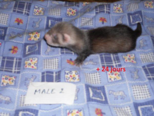 les petits mâloux à 24 jours