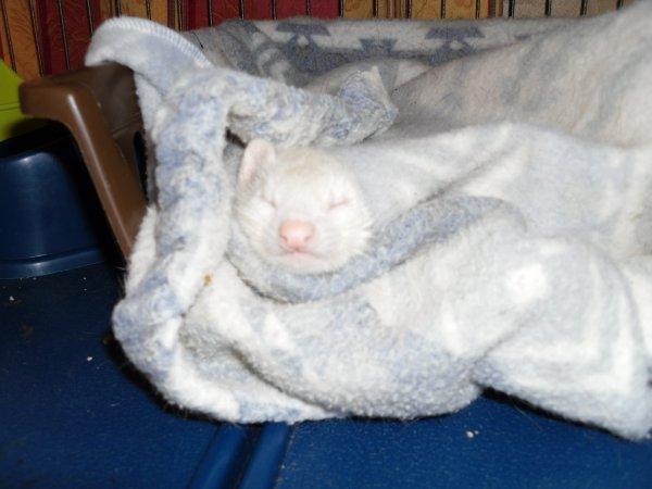 Akasha prend un repos bien mérité pendant que ses bébés dorment